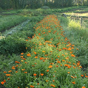 Herbal Spotlight: Calendula